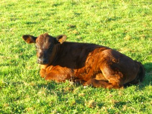 calf-brown