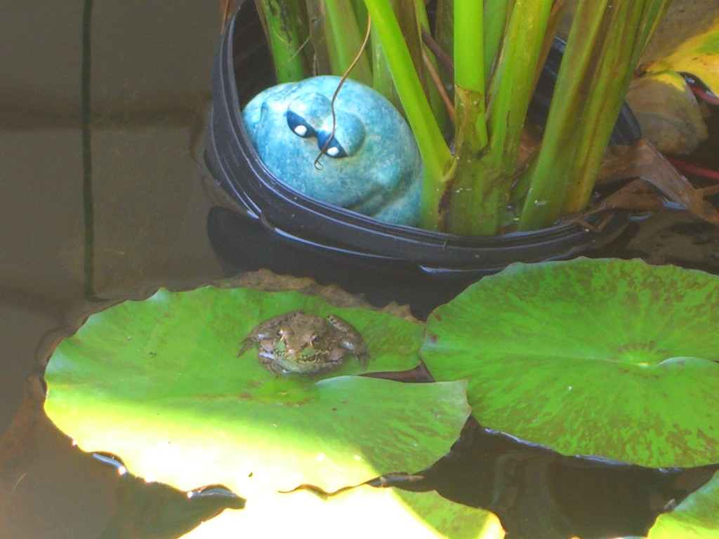 My ceramic frog watching real frog in my pond.