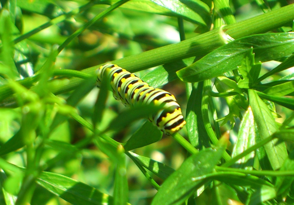 Black swallowtail catepillar enjoying my parsley