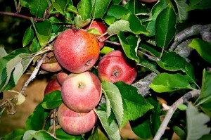 Winesap Apples                photo by chrismar